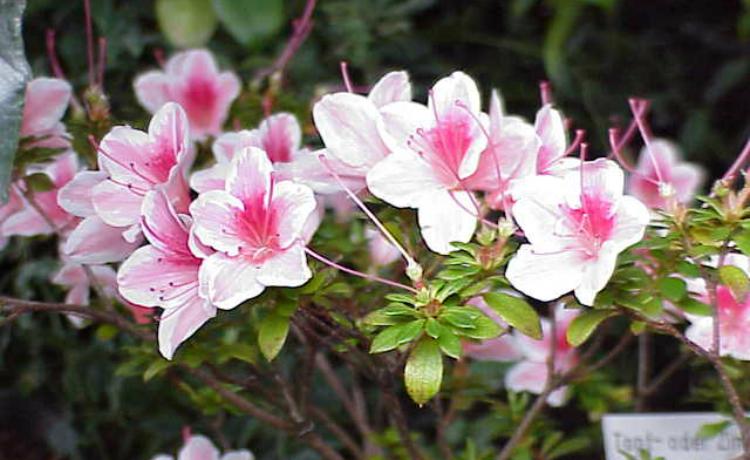 Azaleia (Rhododendron simsii)