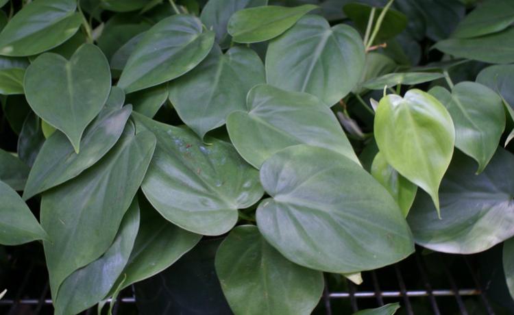 Imbé (Philodendron oxycardium)