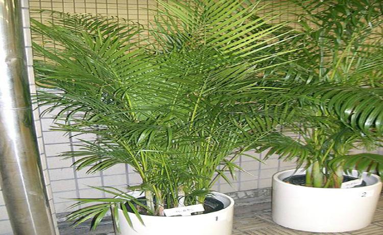 Areca Bambu (Chrysalidocarpus lutescens)