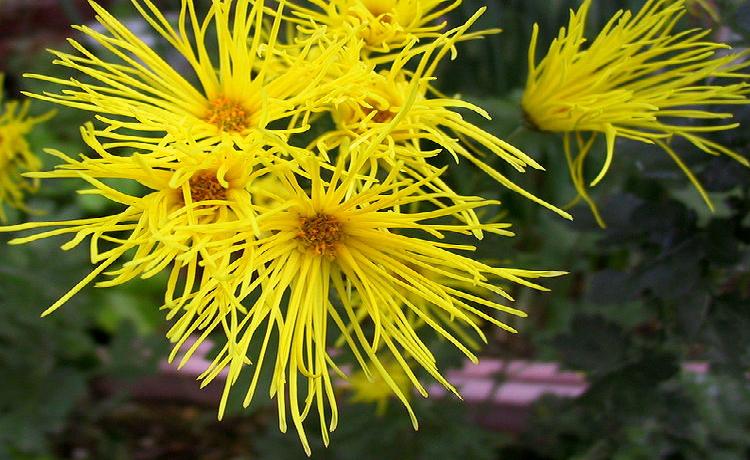 Crisântemo (Chrysanthemum morifolium)