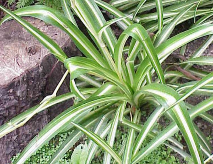 Clorofito (Chlorophytum comosum)
