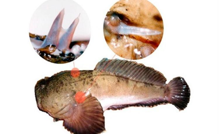 Peixe peçonhento